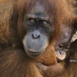 2_orangutany, Borneo