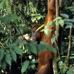 3_orangutany, Borneo